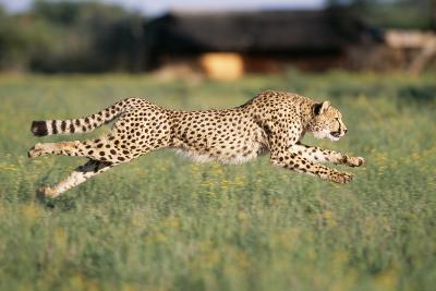 Cheetah Running--Photographic Print