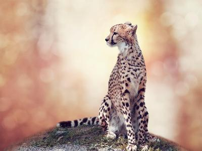 Cheetah Sitting on a Hill and Looking Around-Svetlana Foote-Photographic Print