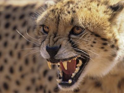 Cheetah Snarling (Acinonyx Jubatus) Dewildt Cheetah Research Centre, South Africa-Tony Heald-Photographic Print
