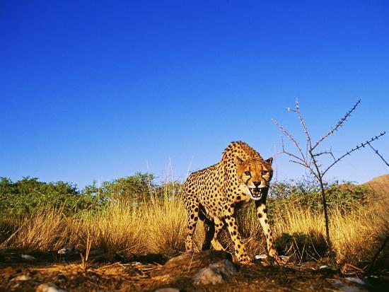 Cheetah, Snarling at Camera, South Africa-David Tipling-Photographic Print