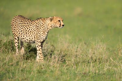 https://imgc.artprintimages.com/img/print/cheetah-stalking-masai-mara-kenya-east-africa-africa_u-l-q1btk5w0.jpg?p=0