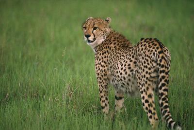 Cheetah Standing in Grass-DLILLC-Photographic Print