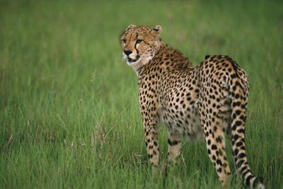 https://imgc.artprintimages.com/img/print/cheetah-standing-in-grass_u-l-pzqtla0.jpg?p=0