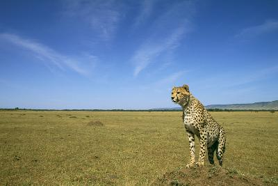 Cheetah Standing on Vantage Point--Photographic Print