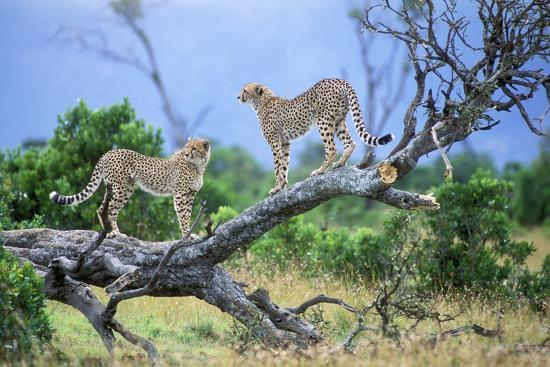 Cheetah Two on Branch--Photographic Print