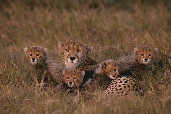 Cheetah with Cubs in Grass-DLILLC-Photographic Print