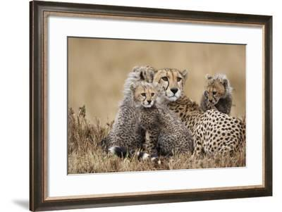 Cheetah with Cubs in Masai Mara National Reserve-Paul Souders-Framed Photographic Print
