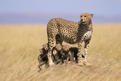 Cheetah with Four 6 Week-Old Cubs--Photographic Print