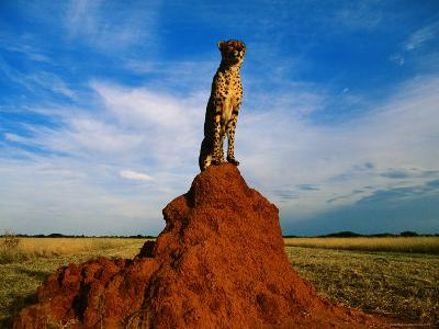 Cheetah-Dave Hamman-Photographic Print