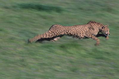 Cheetah-DLILLC-Photographic Print
