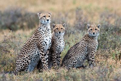 Cheetahs (Acinonyx Jubatus) in a Field, Ndutu, Ngorongoro Conservation Area, Tanzania--Photographic Print