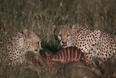 https://imgc.artprintimages.com/img/print/cheetahs-eating-prey_u-l-pzr4r20.jpg?p=0