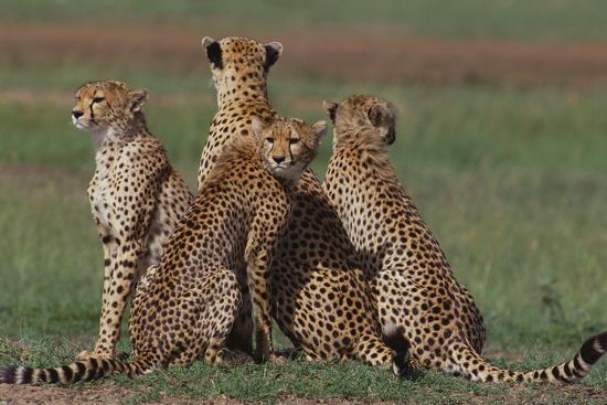 Cheetahs in Grass-DLILLC-Photographic Print