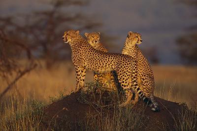 Cheetahs on Mound-DLILLC-Photographic Print