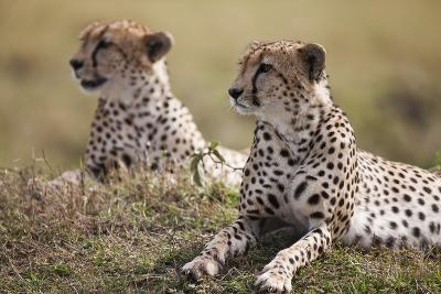 Cheetahs Resting in Grass-Paul Souders-Photographic Print
