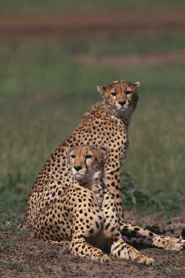 Cheetahs Sitting in Savannah-DLILLC-Photographic Print