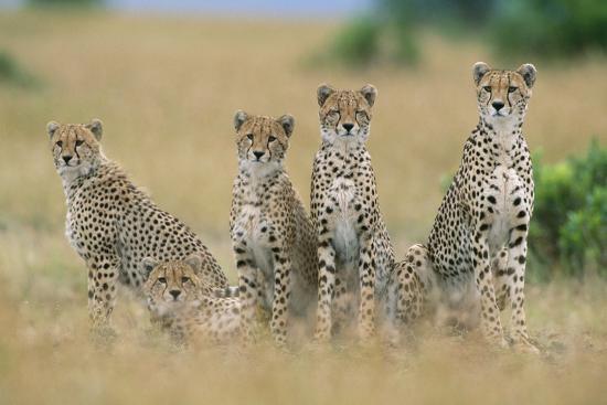 Cheetahs X Five Sitting in Line--Photographic Print