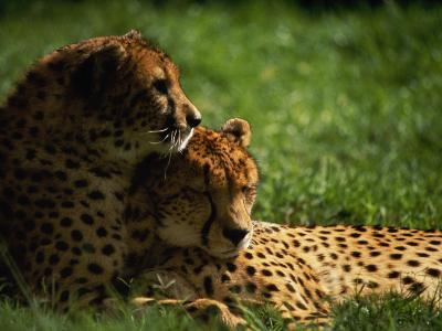 Cheetahs-Mitch Diamond-Photographic Print