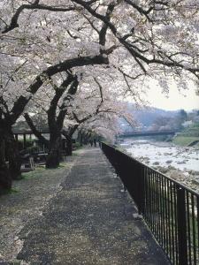 Cherry Blossoms, Sakura, Hakone, Japan by Chel Beeson