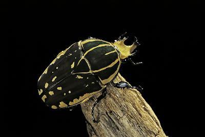 Chelorrhina Polyphemus (Flower Beetle)-Paul Starosta-Photographic Print