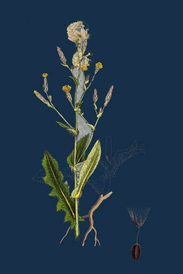 Chenopodium Bonus-Henricus; Allgood--Giclee Print