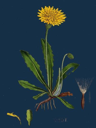Chenopodium Ficifolium; Fig-Leaved Goosefoot--Giclee Print
