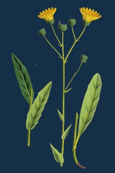 Chenopodium Polyspermum, Var. Genuinum; Many-Seeded Goosefoot, Var. A--Giclee Print
