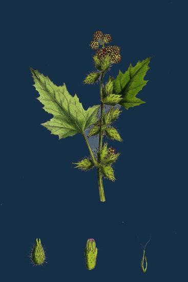 Chenopodium Vulvaria; Stinking Goosefoot--Giclee Print