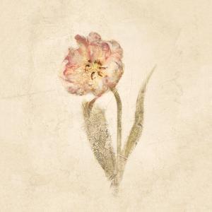 May Wonder Tulip on White Crop by Cheri Blum