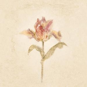 Zoomer Schoon Tulip on White Crop by Cheri Blum