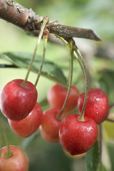 Cherries on Branch-Eising Studio - Food Photo and Video-Photographic Print