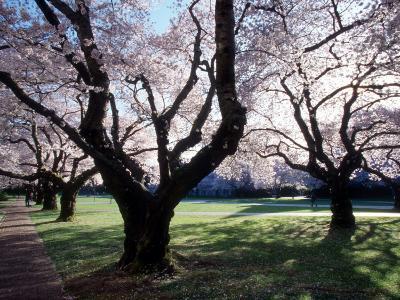 Cherry Blooms at the University of Washington, Seattle, Washington, USA-William Sutton-Photographic Print