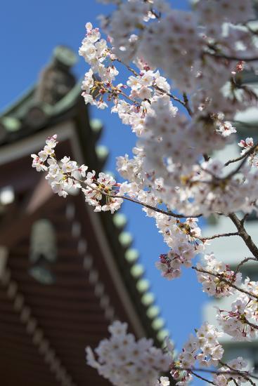 Cherry Blossom at Tocho-Ji Temple, Fukuoka, Kyushu, Japan-Ian Trower-Photographic Print