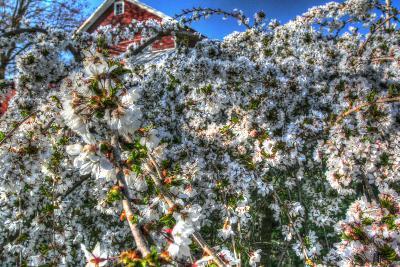 Cherry Blossom Barn-Robert Goldwitz-Photographic Print