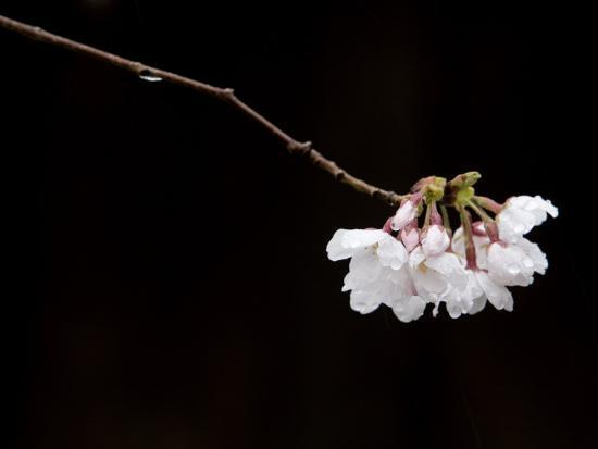 Cherry Blossom Detail-Brent Winebrenner-Photographic Print