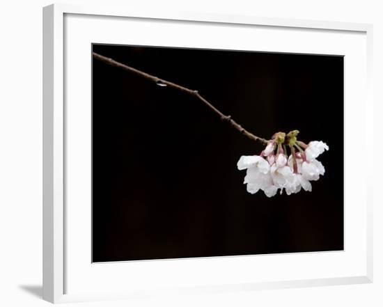 Cherry Blossom Detail-Brent Winebrenner-Framed Photographic Print