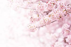 Cherry Blossom in Full Bloom. Cherry Flowers in Small Clusters on a Cherry Tree Branch, Fading in T