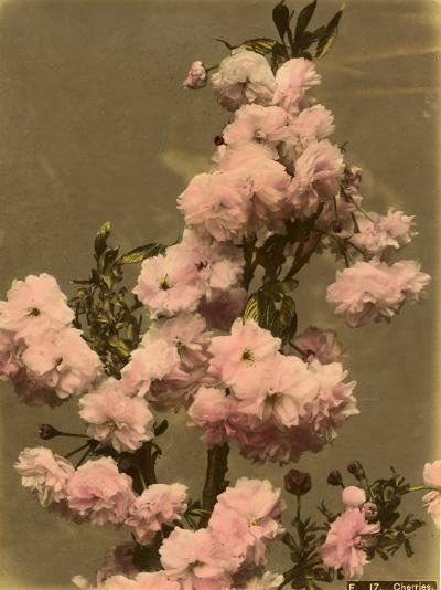 Cherry Blossom on a Branch--Photographic Print