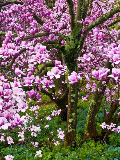 Cherry Blossom Tree in Spring Bloom, Wilmington, Delaware, Usa-Jay O'brien-Photographic Print