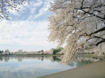 Cherry Blossom Trees around the Tidal Basin, Washington DC, USA--Photographic Print