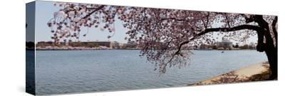 Cherry Blossom Trees with the Jefferson Memorial in the Background, Washington Dc, USA
