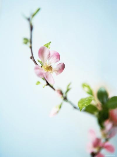 Cherry Blossom--Photo