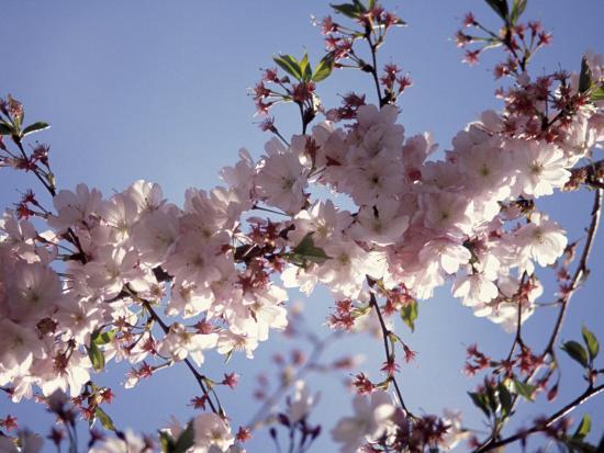 Cherry Blossom-Rudi Von Briel-Photographic Print