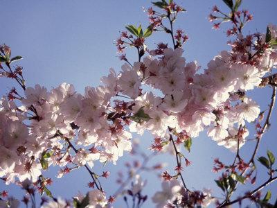 https://imgc.artprintimages.com/img/print/cherry-blossom_u-l-p3fikd0.jpg?p=0