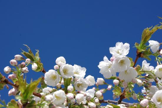 Cherry Blossom-torekimi-Photographic Print