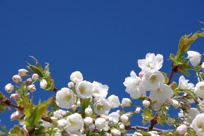 https://imgc.artprintimages.com/img/print/cherry-blossom_u-l-q105n7u0.jpg?p=0