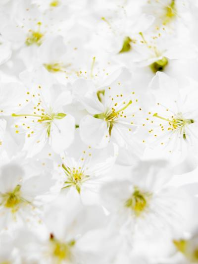 Cherry Blossom-Barbara Lutterbeck-Photographic Print