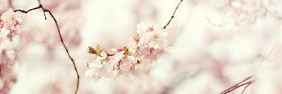 https://imgc.artprintimages.com/img/print/cherry-blossom_u-l-q19txr30.jpg?p=0