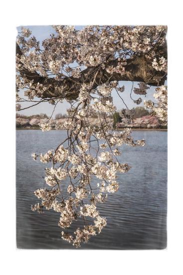 Cherry Blossoms 4-Lillis Werder-Premium Giclee Print