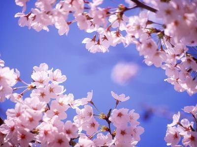 Cherry Blossoms and Blue Sky--Photographic Print